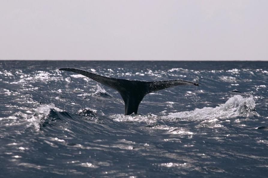 Walvis spotten, Sao Miguel
